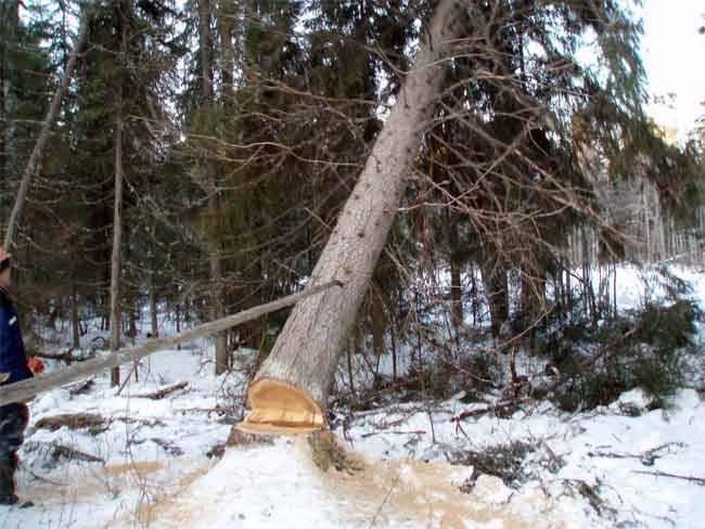 В каком месяце заканчивают заготовку леса