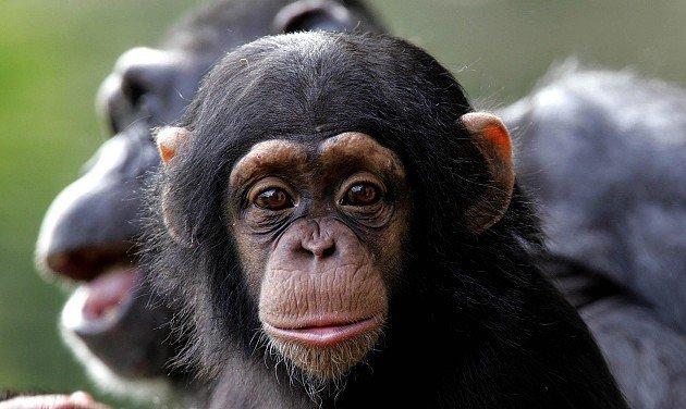 Ученые: человек стал благоразумнее обезьян благодаря быстрому метаболизму