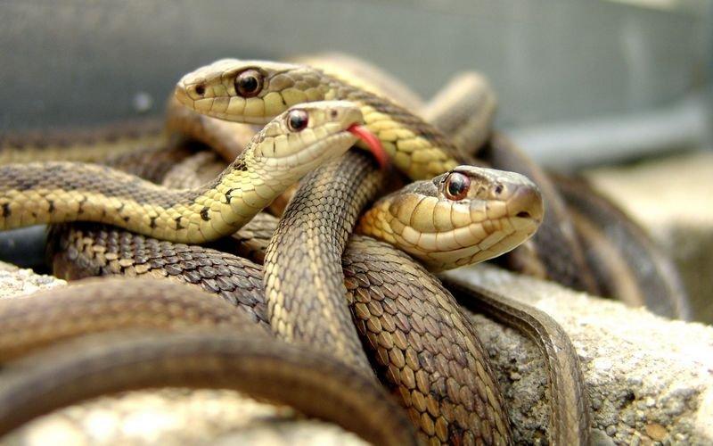 Ядовитые змеи кировской области