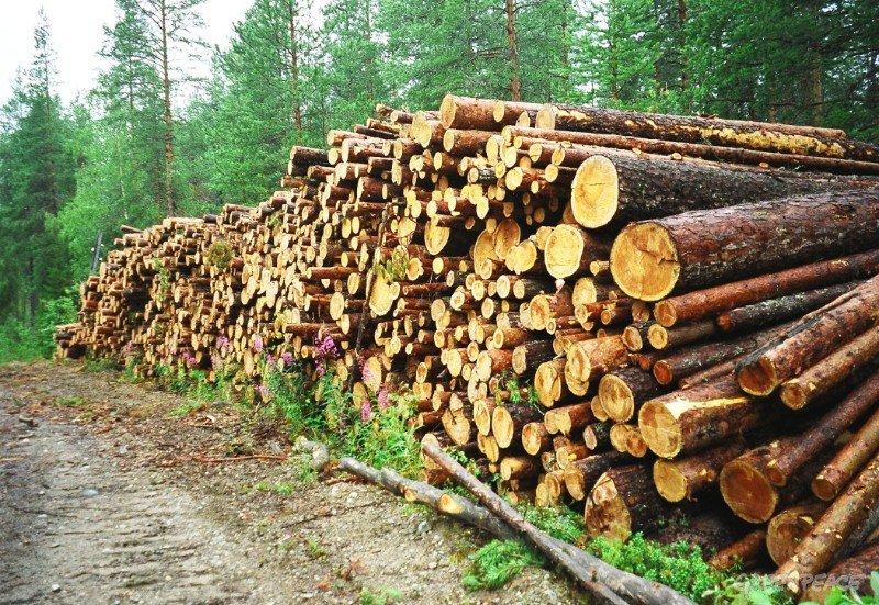 Руководителя колхоза «Им. Чапаева» отправили втюрьму за нелегальную рубку леса