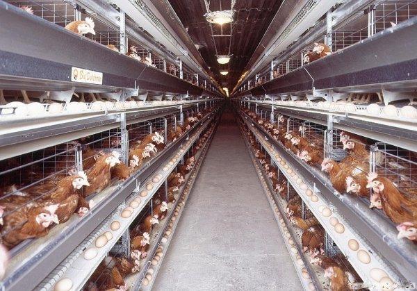 ВКирове работникам «Костинской птицефабрики» задолжали 7 млн руб.