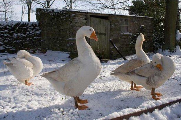 ВСоветском районе у здешней жительницы украли четырех гусей