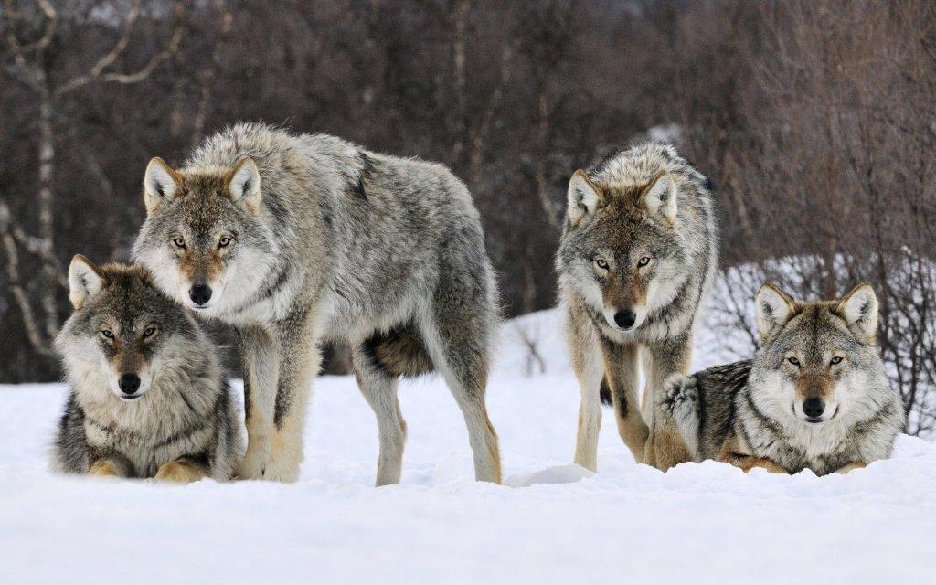 Водном изпоселков Опаринского района волки загрызли неменее 30 собак