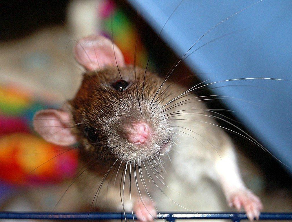 Хирург-франкенштейн пересадил голову крысе