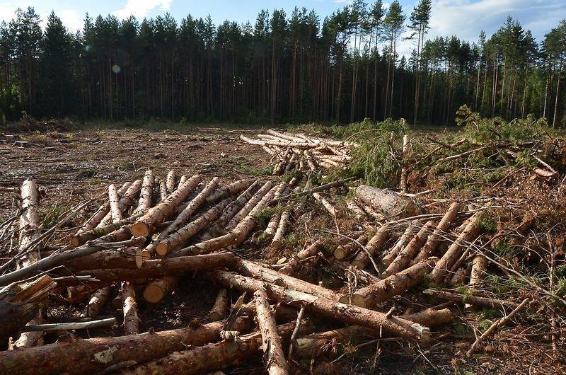 ВКировской области лесник колхоза нелегально вырубил лес на4,7 млн