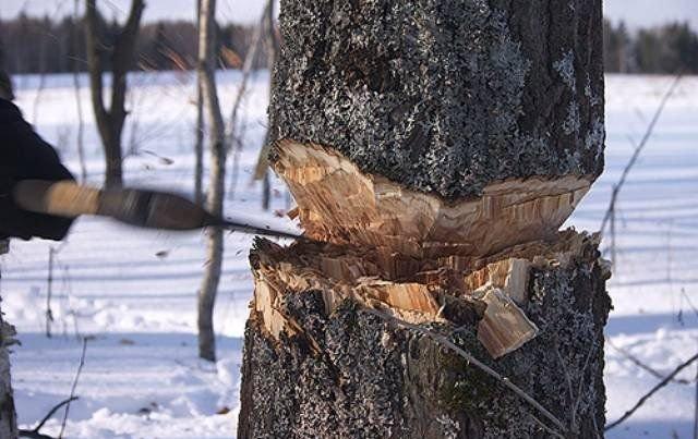 ВКировской области осужден «черный лесоруб» за вред в220 тыс. руб.