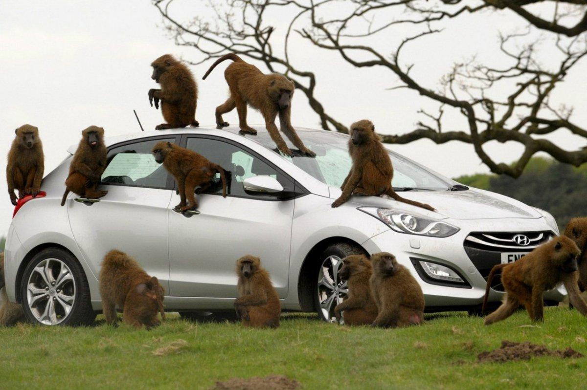 картинка обезьяны в машине успешно
